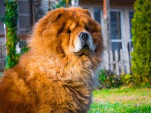 big brown fluffy chow chow dog looking at camera