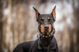 A brown and black sleek Doberman Pinscher with a spiked collar looks at the camera.
