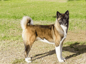 Brown, black, and white Akita